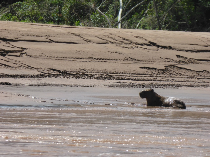 A capybara relaxing in the river.