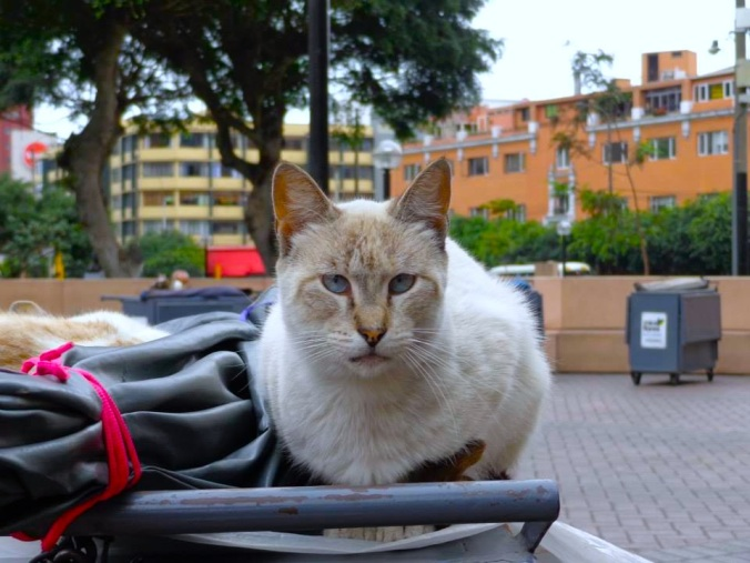 A handsome fella in the 'cat park' in Lima.
